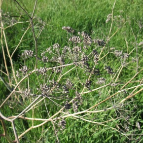 Foraging Free Food – Fennel Seed
